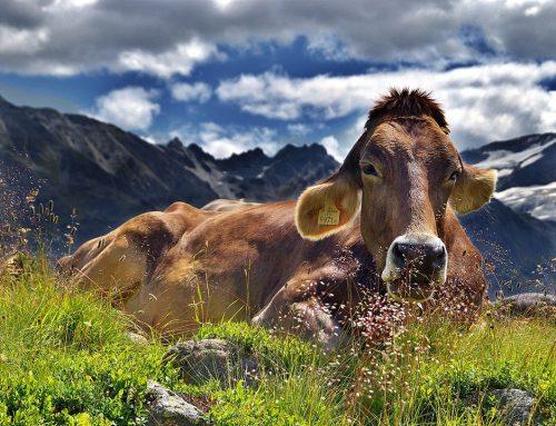 Kühe leasen
